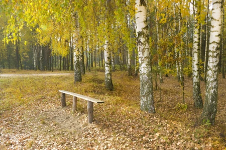 birchwood: Bench near an autumn birchwood