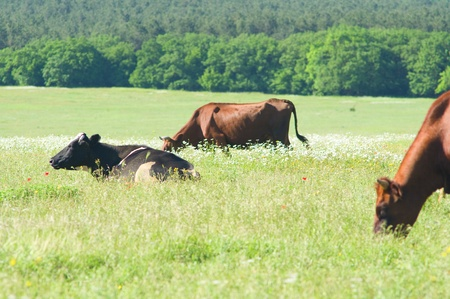cows on gren summer meadow photo