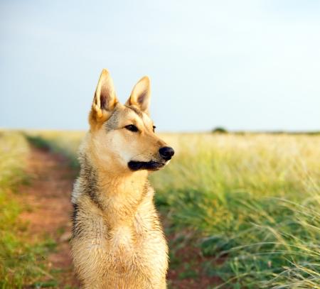 dogs sitting: Perro de pura sangre con atenci�n mirando en la distancia