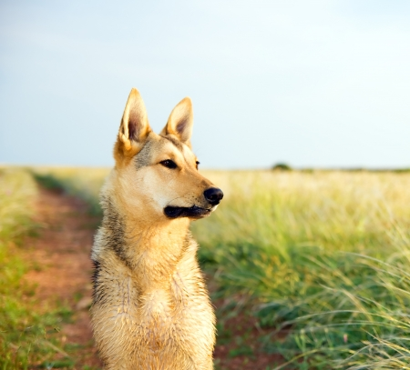 Thoroughbred dog attentively peering into a distance