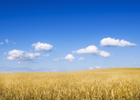 wheat fields: Meadow of wheat. Nature composition. Stock Photo