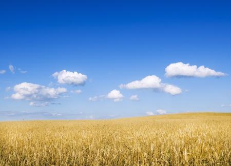 weizen ernte: Meadow von Weizen. Nature Zusammensetzung.