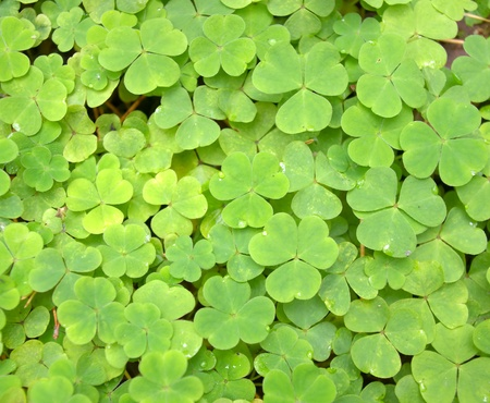 Green wood lawn covered with a clover Stock Photo - 13264245