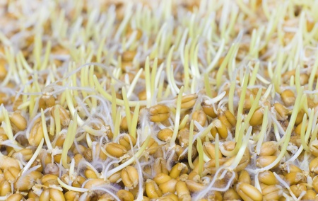 The sprouted grains of wheat  Nature composition  photo