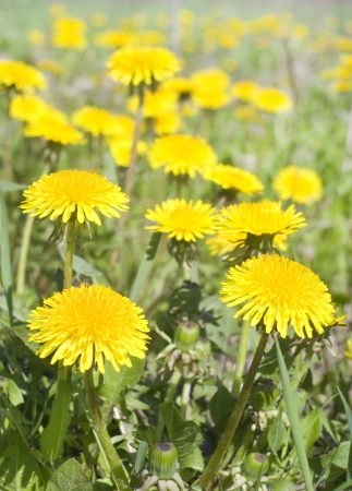 Dandelions on a turning green meadow photo