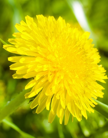 yellow dandelion flower Taraxacum closeup Stock Photo - 13605252