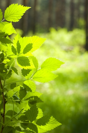 Green plant growing in spring forest photo