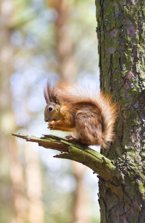 Red squirrel sitting on a tree branch photo