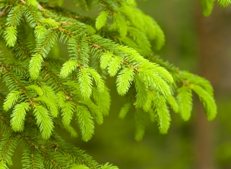 A young branch of the blue spruce  photo