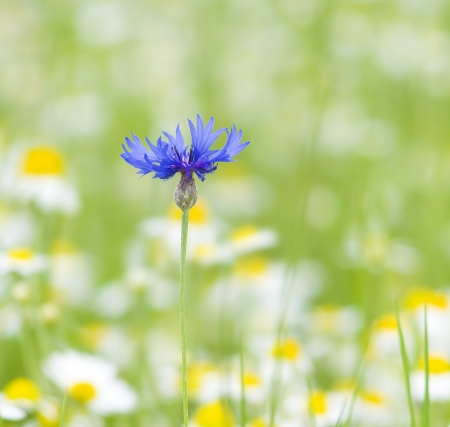Blue cornflower on a green field with camomiles photo