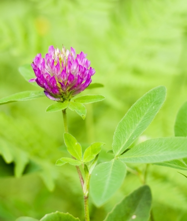 trifolium: Red Clover  trifolium pratense  flowerhead Stock Photo