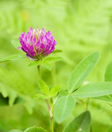 Red Clover  trifolium pratense  flowerhead Stock Photo - 14049021
