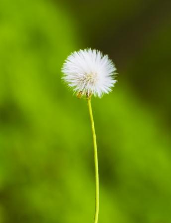 Dandelion flower on green forest background Stock Photo - 14049012