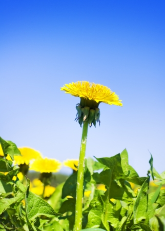 Yellow dandelion on a green background Nature composition   photo