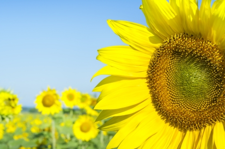 Sunflower on a farmer field against the blue sky Stock Photo