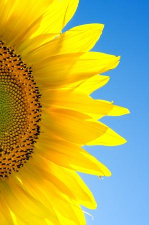 Sunflower  against the blue sky Nature composition  photo