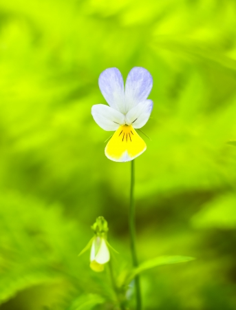 body scape: Violet three-coloured on green background Viola tricolor Stock Photo