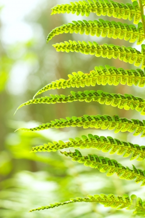Green Fern Leave on green forest background photo