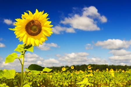 granjero: Girasol en un campo de agricultores contra el cielo azul Foto de archivo