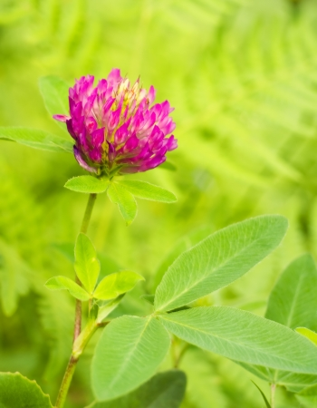 trifolium: Red Clover  trifolium pratense  flowerhead Stock Photo