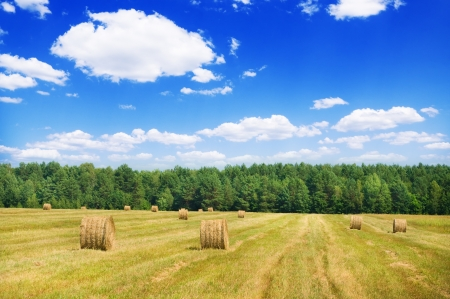 Harvesting of grain agricultural crops  Nature composition