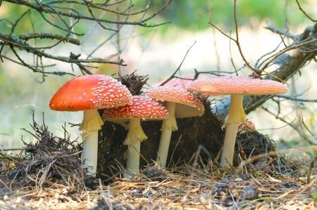 fungi woodland: Four red mushrooms fungi, Fly Agaric, latin name is Amanita muscaria