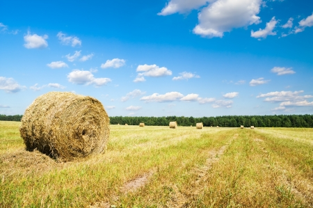 agrar: Bales of hay in a large field  Agrar industry  Stock Photo