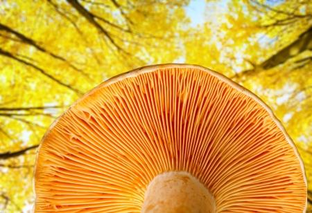 boles: Mushroom a saffron milk cap in autumn wood