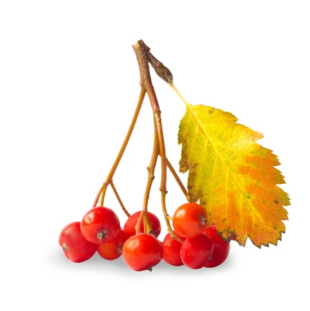 seasonally: Branch of ashberry isolated on white