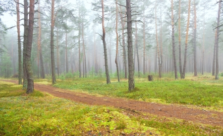 Autumn pine forest in the early morning photo