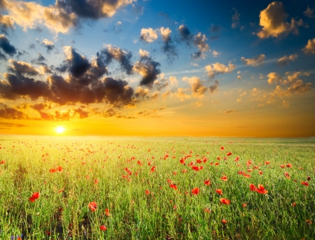 field with green grass and red poppies against the sunset sky Banque d'images