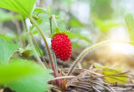 Wild strawberry berry growing in natural environment  Macro close-up  photo