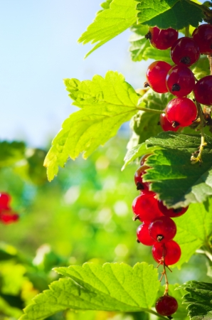 goodness: bunch of red currants, shallow dof  green leaves Stock Photo