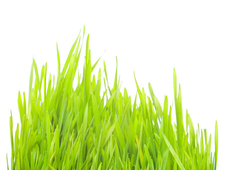young wheat sprouts on a white background Stock Photo - 25582801