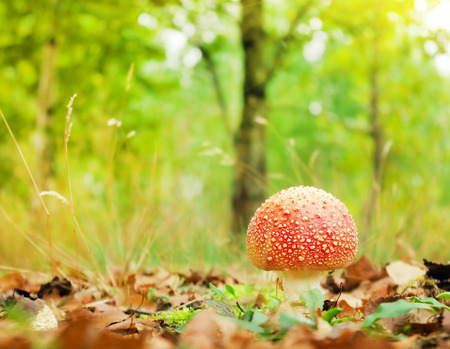 Amanita muscaria in autumn forest photo