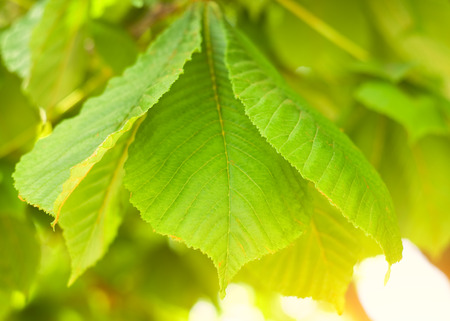 spring leaf: Spring leaf of chestnut  Nature composition