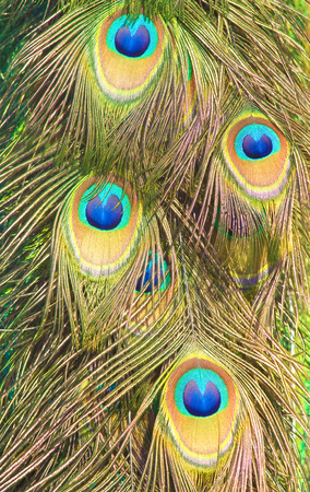 irridescent: pattern of colorful male peacock tail feathers feathers