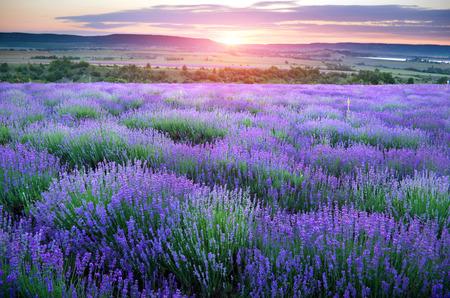 fiori di lavanda: Prato della composizione lavanda Natura
