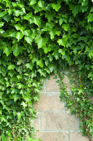green vegetation: Wall covered with green vegetation Stock Photo