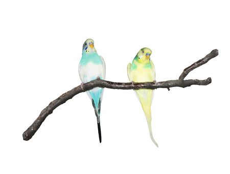 Wavy parrots on a branch isolated on white background photo