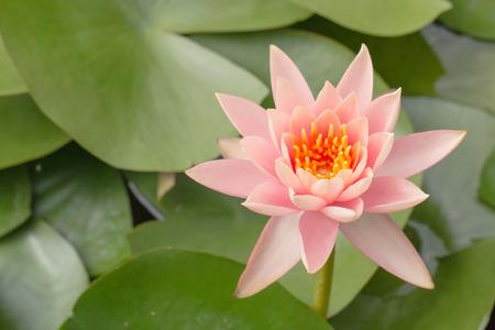 carpel: Colorful yellow carpel in pink lotus flower