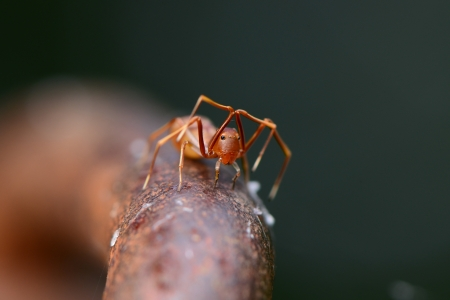 Shy,Ant Mimic Spider
