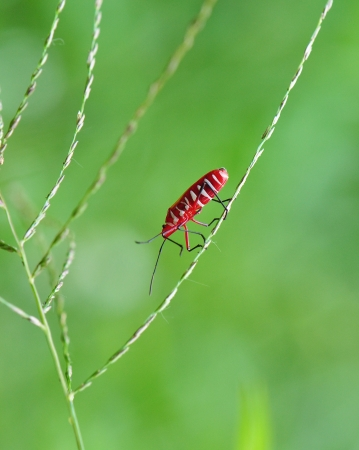 The red bug walk through tiny grass