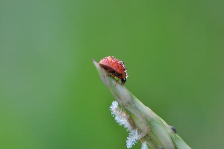 Mariquita roja con el roc�o sobre la hierba