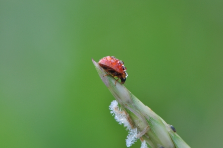 Red ladybird with dew on grass