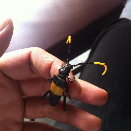 Cerambycidae raro con franja amarilla. Foto de archivo