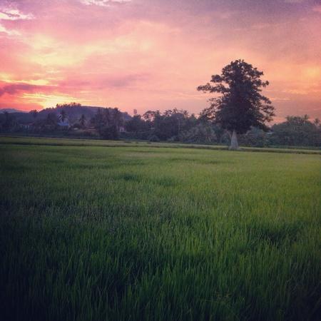 Campo de arroz paddy al atardecer.