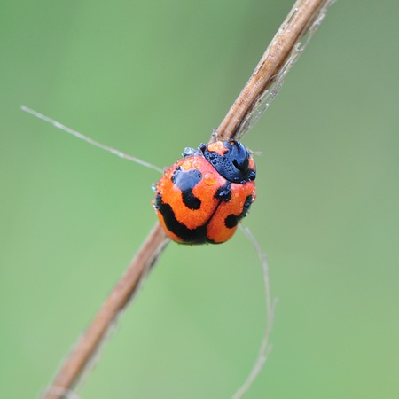 Beautiful ladybird with dew Stock Photo