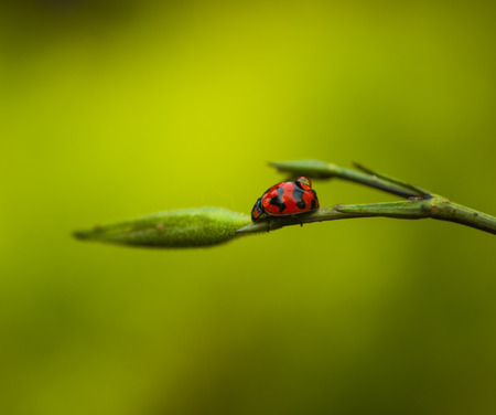 Red ladybird with dew. Stock Photo