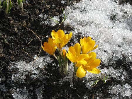 crocuses: yellow crocuses in the spring